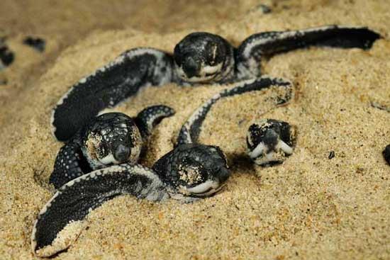 Loài rùa biển luýt khổng lồ