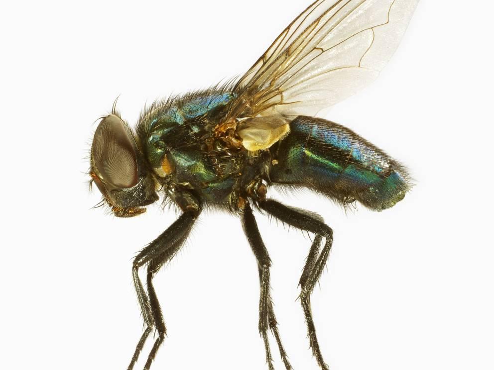 Loài ruồi đáng ghét và nguy hiểm hơn bạn tưởng rất nhiều