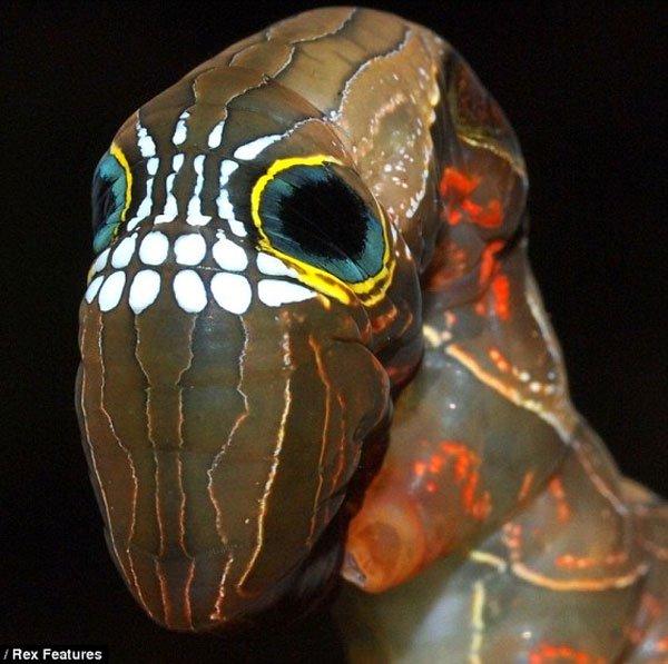 Loài sâu có mặt hình sọ người