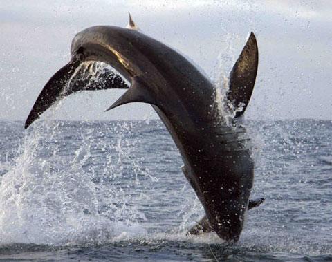 Màn nhào lộn ngoạn mục của sát thủ đại dương