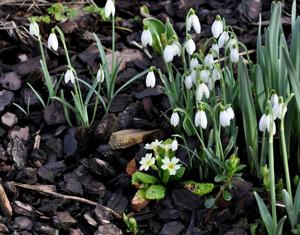 Ngắm vẻ đẹp và sức sống huyền thoại của hoa xuyên tuyết