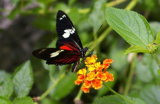 Nghiên cứu loài bướm khám phá quá trình hội tụ tiến hóa