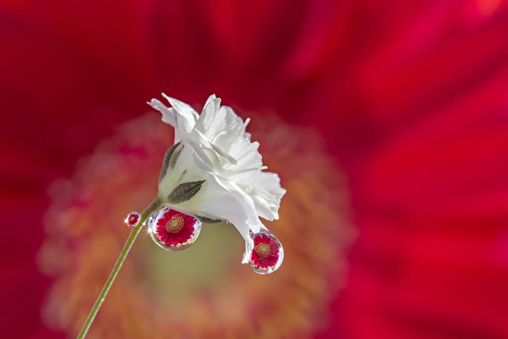 Ngỡ ngàng trước vẻ đẹp lung linh của hoa trong giọt sương