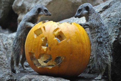 Ngộ nghĩnh động vật chơi Halloween