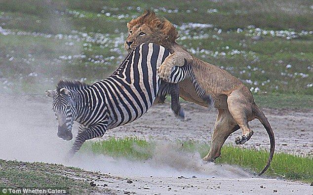 Ngựa vằn tung cước vào mặt sư tử đói