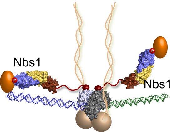 Nguyên nhân đứt gẫy DNA ở tế bào ung thư