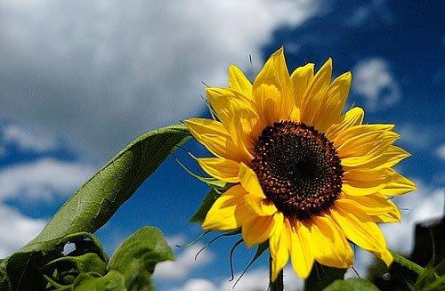 Nhật dùng cây hoa hướng dương khử xạ cho đất