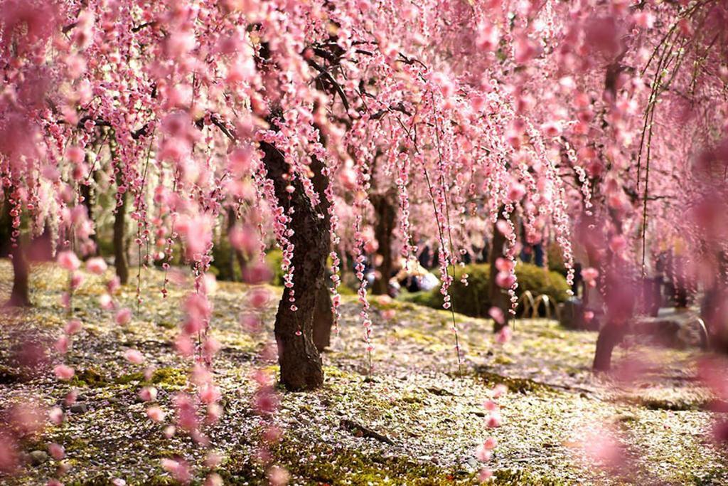 Những bức ảnh hoa anh đào khiến bạn muốn tới Nhật Bản ngay lập tức