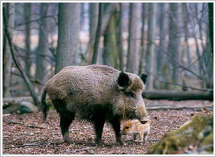 Những điều còn chưa biết về heo rừng
