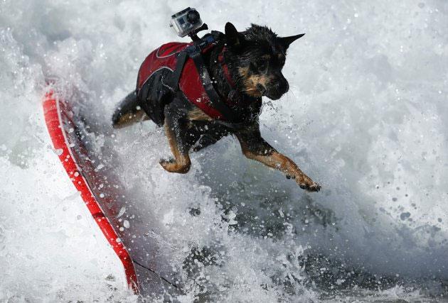 Những hình ảnh thú vị từ cuộc thi chó lướt sóng