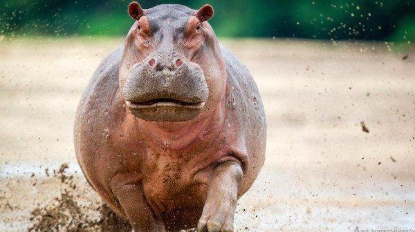 Những loài động vật béo nhất thế giới