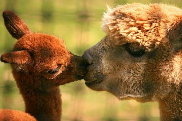 Những màn 'khóa môi' nóng bỏng của động vật (Phần 1)