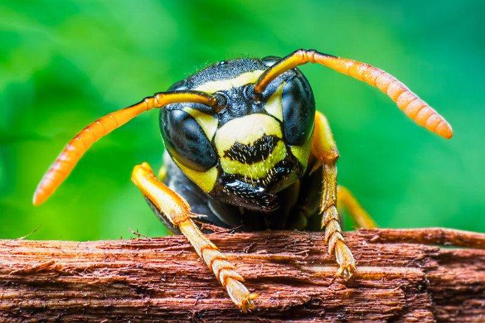 Nọc độc ong bắp cày có thể giết chết tế bào ung thư