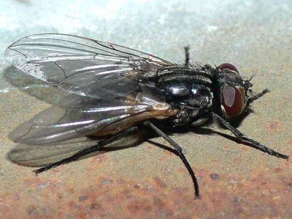 Nuôi ruồi làm thức ăn chăn nuôi