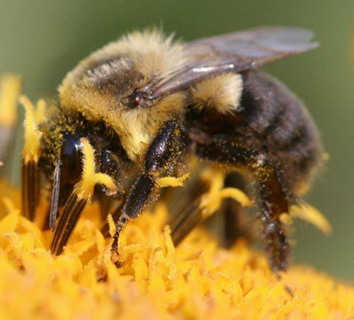 Ong nghệ gần như biến mất tại Mỹ