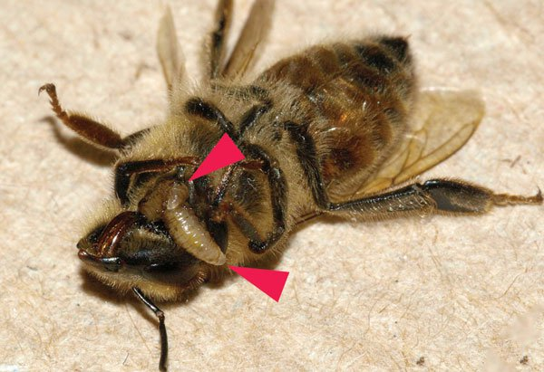 Ong thây ma xuất hiện ở Mỹ