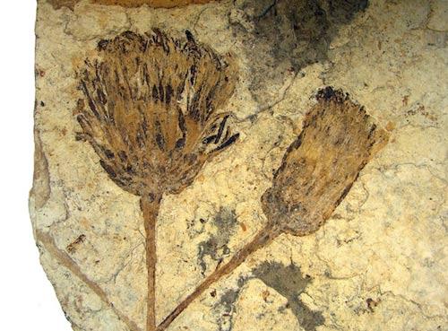 Phát hiện hóa thạch loài hoa cúc cổ nhất thế giới
