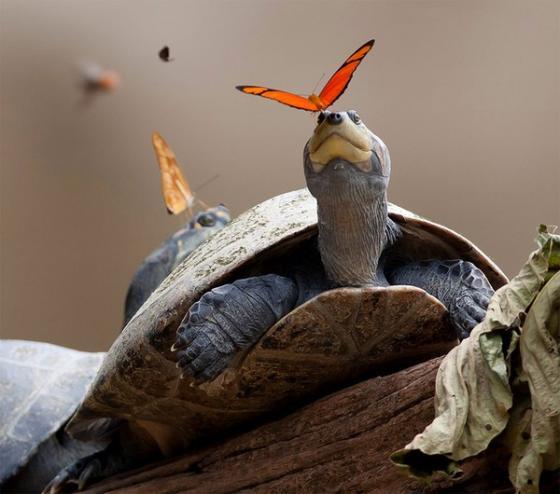 Phát hiện loài bướm uống nước mắt chim