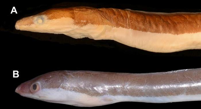 Phát hiện loài cá Chình mới thuộc họ cá Chình giả (Chlopsidae)