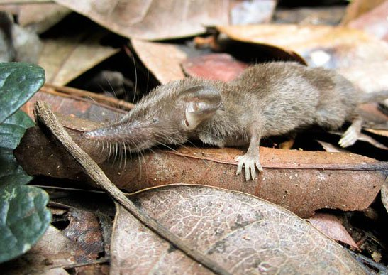 Phát hiện loài chuột chù răng trắng mới