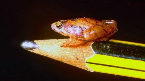 Phát hiện loài ếch mới nhỏ như hạt đậu