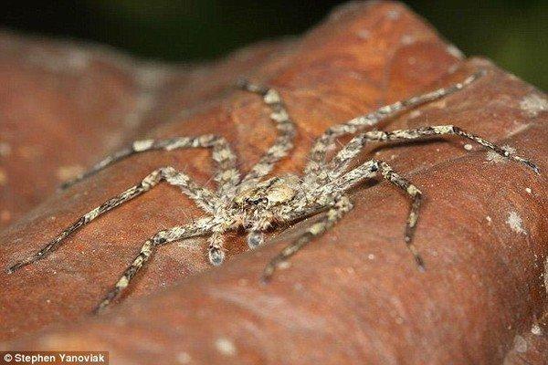 """Phát hiện loài nhện biết bay"""" tại Nam Mỹ"""