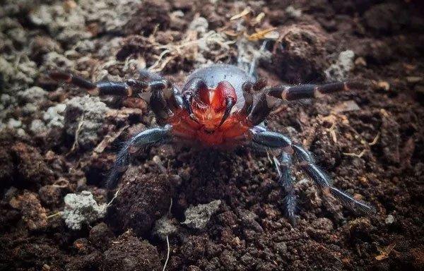 Phát hiện loài nhện có răng nanh đỏ như máu ở Úc