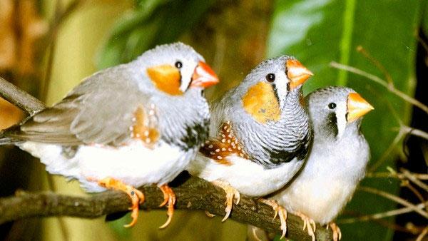 Phát hiện mới: Loài chim cũng biết lè nhè khi say