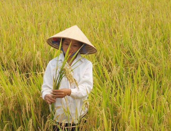 Phát hiện mới về nguồn gốc của lúa gạo