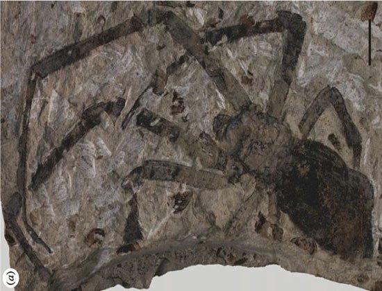 Phát hiện một hóa thạch nhện lớn chưa từng thấy