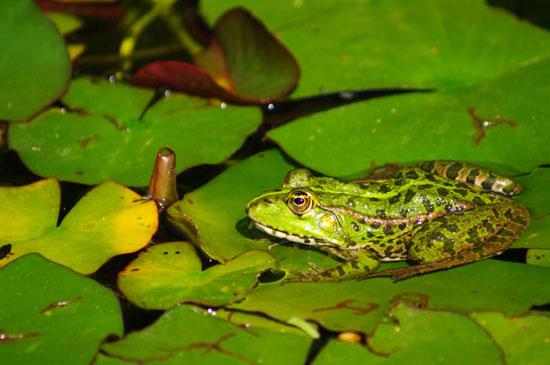 Phát hiện một loài ếch làm điếc tai tại Ecuador