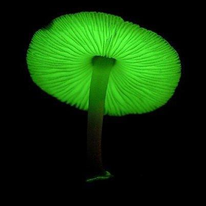 Phát hiện nấm phát sáng ban đêm ở Brazil