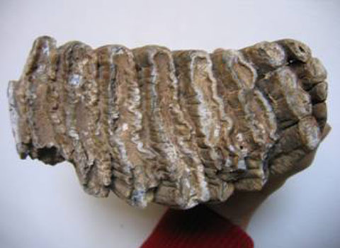 Phát hiện răng voi hóa thạch ở Thái Nguyên