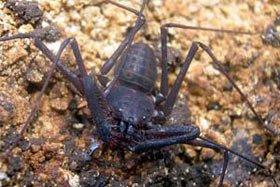 Phát hiện thêm bốn loài bọ cạp mới tại Indonesia