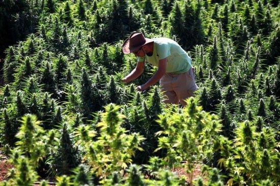 Phát triển giống cây cần sa mới ít gây nghiện