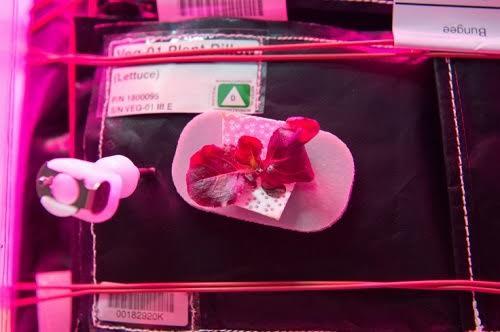 Phi hành gia lần đầu ăn rau diếp đỏ lá dài trồng trên vũ trụ