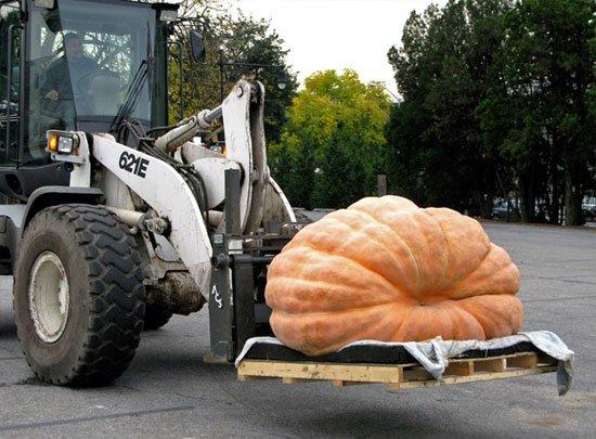 Quả bí ngô siêu bự nặng hơn 821 kg