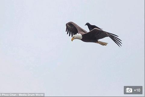Quạ đen cưỡi đại bàng đang bay