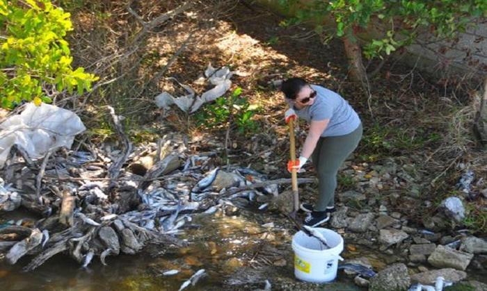 Quy trình thu gom cá chết hàng loạt do tảo nở hoa ở Florida