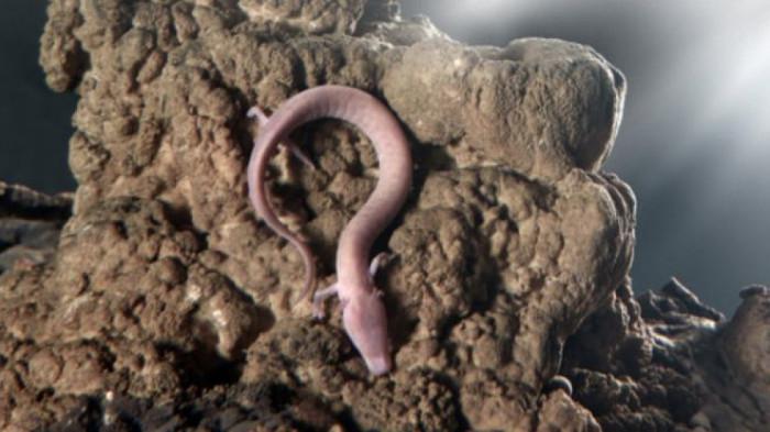 Rồng mù canh trứng hiếm trong hang động Slovenia