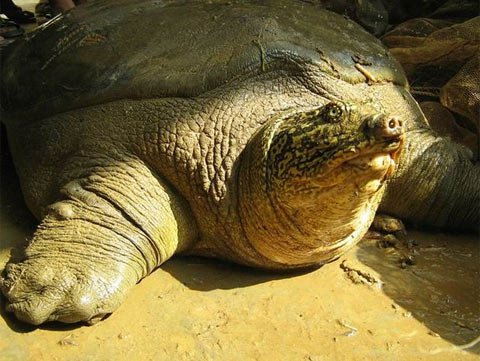 Rùa Hoàn Kiếm dẫn đầu nguy cơ tuyệt chủng
