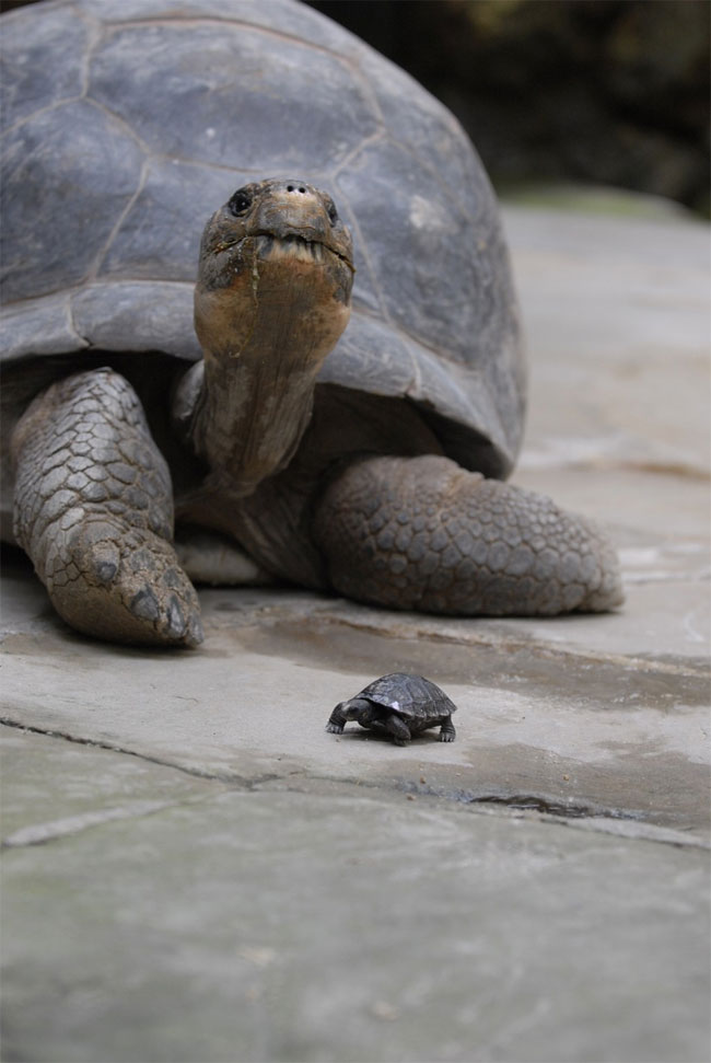 Rùa khổng lồ lên chức mẹ ở tuổi 80