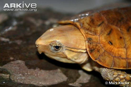 Rùa quái dị đầu voi đuôi chuột ở Việt Nam