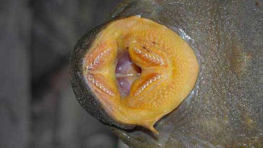 Rừng Amazon: Phát hiện loài cá kỳ dị chưa từng biết đến