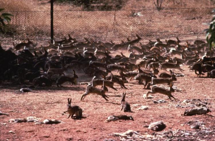 Sai lầm nhỏ khiến Úc đang phải chống chọi tới 10 tỷ con thỏ