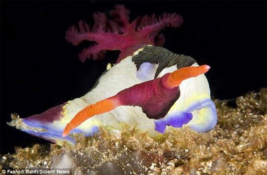Sên biển khoe sắc dưới đại dương (2)