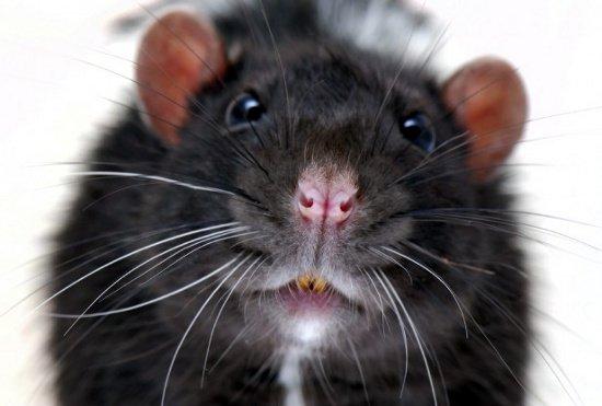 Siêu chuột to như mèo vì nhiễm phóng xạ