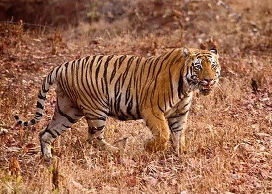 Số hổ ở Ấn Độ tăng 20% trong 4 năm qua