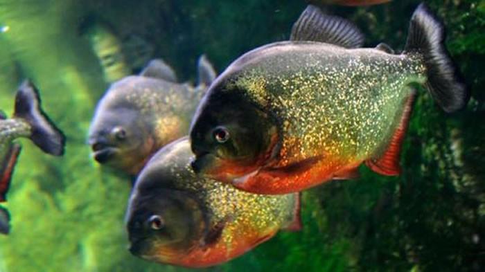 Sự thật về loài cá bị đồn thích chui vào bộ phận sinh dục người