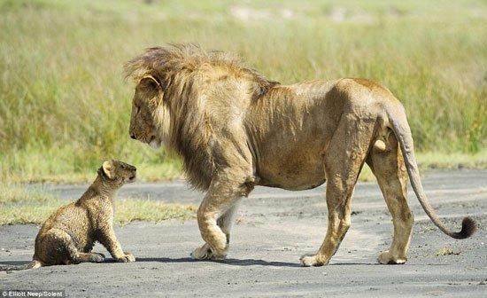 Sư tử con liều mình cãi lại bố bênh mẹ